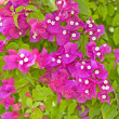 Bougainvillea flowers on a bush - Stock Photo