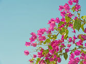 Bougainvillea bush against blue background — Stock Photo
