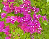 Bougainvillea blommor på en buske — Stockfoto