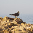 Sooty gull perched on rocks — Stock Photo