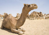 Dromedary camel at a market — Stock Photo