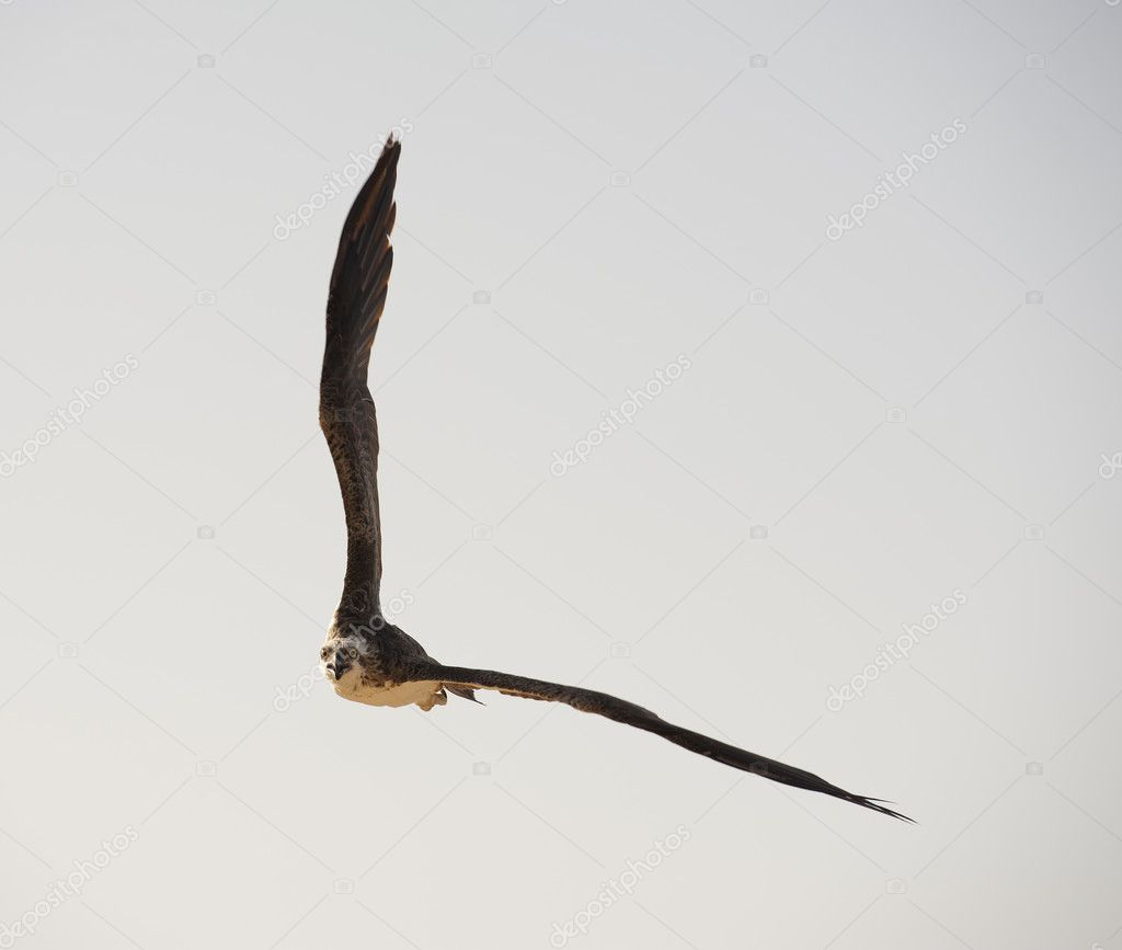 Large Osprey bird in flight with its wings spread — Stock Photo #5368570