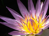 Pink and yellow lotus — Stock Photo