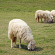 Four Sheep was eating on the lawn — Stock Photo