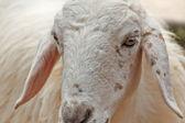 Goat face — Stock Photo