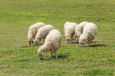 Six Sheep was eating on the lawn — Stock Photo