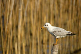 Seagull standing on the timber — Stock Photo