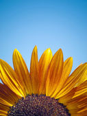 Sunflower front closeup — Stock Photo