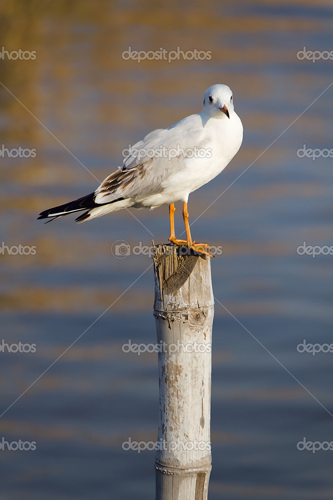 Seagull standing on the timber and look to me — Stock Photo #5256369