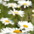 Camomile lawn — Stock Photo