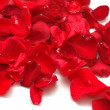 Petals of red roses on white background — Stock Photo