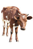 Cow calf isolated on white — Stock Photo