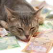 Grey striped cat sleeping on money banknotes — Stock Photo #3992292