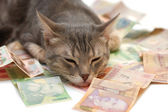 Grey striped cat sleeping on money banknotes — Stock Photo