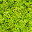 Lettuce bed in vegetable garden — Stock Photo