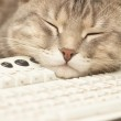 Pause at work: cat sleeping on keyboard — Stock Photo #4572290