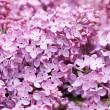 Lilac (Syringa vulgaris) — Stock Photo #4572502