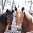 Two horses in outdoor enclosure — Stock Photo #4572637