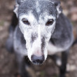 Portrait of old rescued grey-haired greyhound — Stock Photo