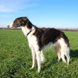 Stock Photo: Russiwolfhound - borzoi - in expectation of hunting