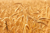 Ears against ripening wheat field — Stock Photo