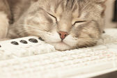 Pause at work: cat sleeping on keyboard — Stock Photo