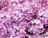 Lilac (Syringa vulgaris) — Stock Photo