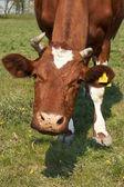 Funny cow — Stock Photo