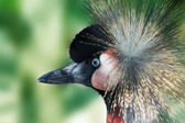 Southern Crowned Crane — Stock Photo