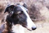 Russian wolfhound - borzoi — Stock Photo