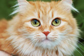 Red cat with big green eyes — Stock Photo