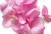 Petals of pink roses on white background — Stock Photo