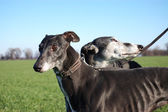 Pair of black greyhounds before hunting — Stock Photo