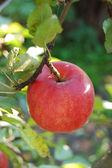 Mela rossa matura sul ramo — Foto Stock