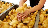Duckling is on the woman hands — Stock Photo
