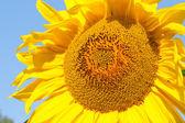 Sunflower closeup — Stock Photo