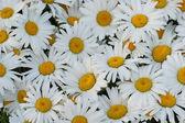 Many daisies closeup — Stock Photo