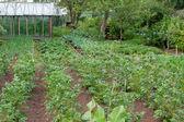Vegetable garden — Photo