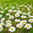 Daisies in a meadow - Stock Photo