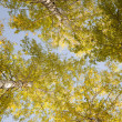 Tops of autumn birch — Stock Photo
