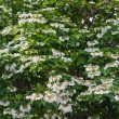 Blooming viburnum — Stock Photo