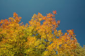 Autumn-colored maple — Stock Photo