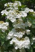 Blooming viburnum — Stock Photo