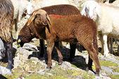 山の羊 — ストック写真