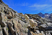 Sheep in the mountains — Stock Photo