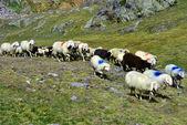 Paso de ovejas — Foto de Stock