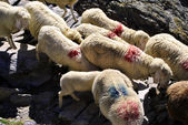 Migration of sheep — Stock Photo
