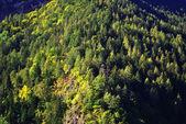 água tranquilalarício e pinheiro — Fotografia Stock