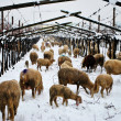 Sheep cold winter — Stock Photo