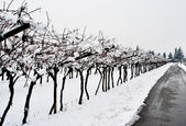 Vineyard in winter — Stock Photo